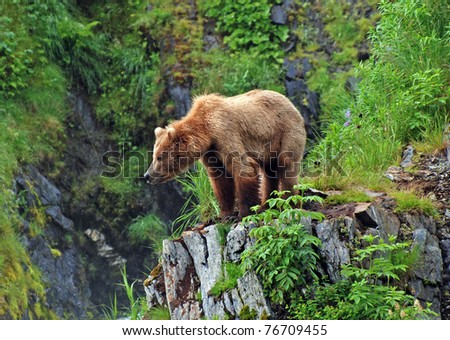 This picture is taken on Kodiak Island of a Grizzly Bear watching the habitat near Fraser Lake
