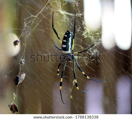 This picture of Giant Golden Orb-web Spider was taken in Cape Town (South Africa). Its other common names are golden silk orb-weavers, golden orb-weavers, giant wood spiders, or banana spiders.