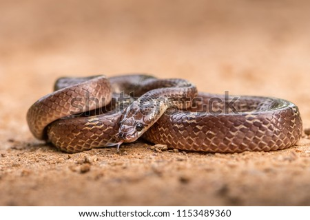 This picture of Wolf Snake is taken at Gujarat in India.