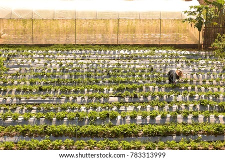This picture show farmer being harvesting production in Strawberry farm #783313999