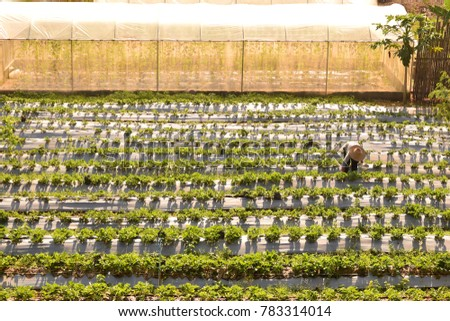 This picture show farmer being harvesting production in Strawberry farm #783314014