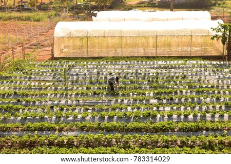This picture show farmer being harvesting production in Strawberry farm #783314029