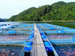 This Picture show Red Tilapia culture in cage at Aquaculture farm in River from Thailand It is economic species of freshwater fish in Thailand