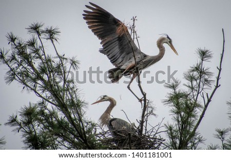 This picture was taken at Devil's Lake State Park in Wisconsin. There is a rookery of blue herons that live around a campground in the park. They set up annually to bring in their babies.