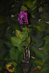 This picture was taken in Tanggamus, on February 25th, 2021. Dendrobium Bigibbum (italic) is an orchid species that is categorized as endangered flora