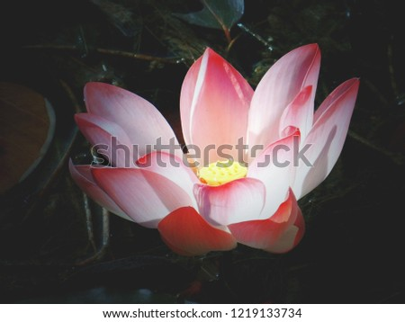 This pink lotus flower original pic was different but when you take time to edit the pic pic wos so pretty good after doing hard work.