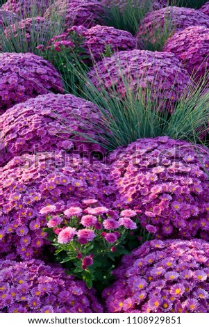 This planting of purple chrysanthemums and chives creates a repetitive pattern. #1108929851