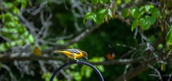 This pretty little oriole bird appears to be curious about something below as it stands on the top of a metal hook in a Misosuri backyard. Bokeh effect.