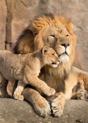 This proud male aftican lion is cuddled by his cub during an affectionate moment.
