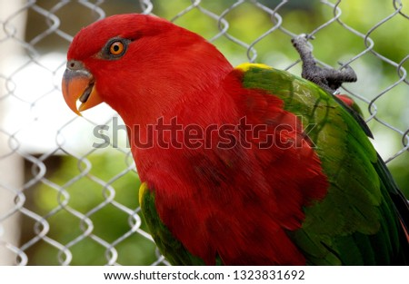 This red lory is a species of parrot often seen in Australia with rainbow lorikeets.   #1323831692
