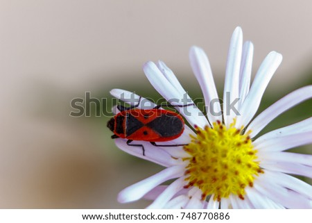 This red-winged wingless or beetle soldier on the astra. Blur. Autumn.
