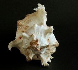 This Rock Shell is a large and rugged thick-shelled mollusc of tropical reefs. They are carnivorous and hunt other molluscs by piercing their shells using radula teeth.
