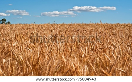This rural agriculture stock image is a large wheat field, ripe with golden grain with blue sky and puffy white clouds.  The wheat is ripe and ready for harvest.