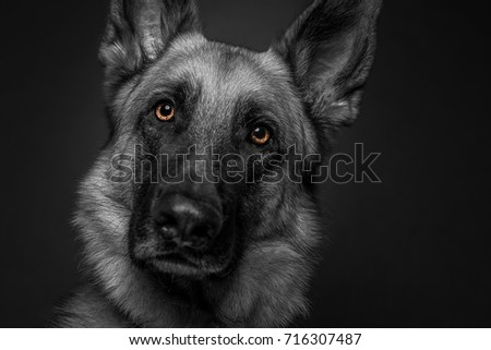 This shot is a German Shepard converted to black and white with the eyes isolated in color