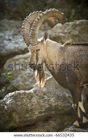 This Siberian Ibex was watching the other rams in the area.