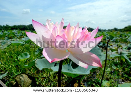 This single lily flower picture taken from lake. This is a single lily flower picture.