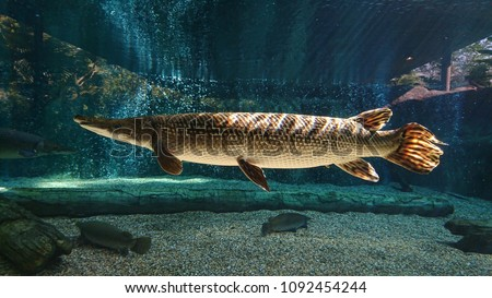 This spectacular Alligator gar (Atractosteus spatula) swims in the freshwater with sunlight rays shining on its body. Photo stock ©