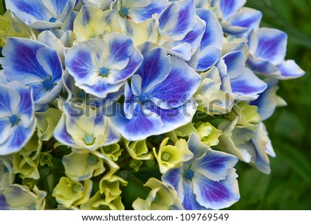 This stock image is a macro closeup of a blue Harlequin variety hydrangea flower.  It has white around the edges of the petals, and the background is intentionally blurred for artistic effect.
