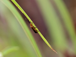 This thin orange beetle is found in fields and gardens in the Philippines.
