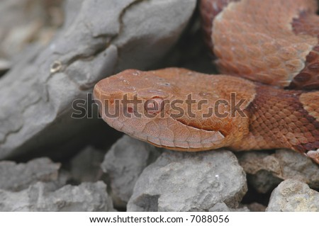 This unique macro image shows the body color matching eyes of the osage copperhead snake. - stock photo