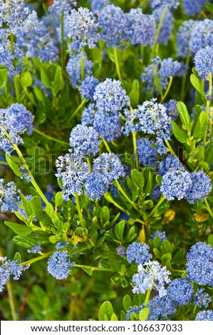this vertical image is of the flowering bush ceanothus. Black Bedroom Furniture Sets. Home Design Ideas