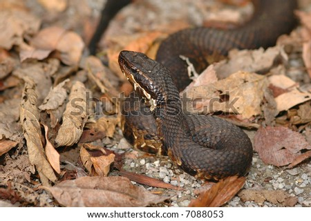 This western cottonmouth was photographed in late fall in the leaf litter. - stock photo