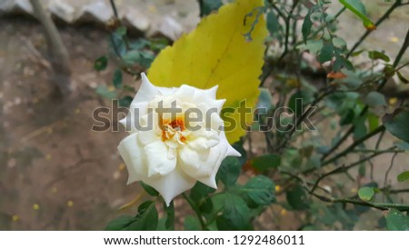 This white rose was catchy. It represents the beauty of the white color. The stamens and carpels make a contrast with the color of petals.