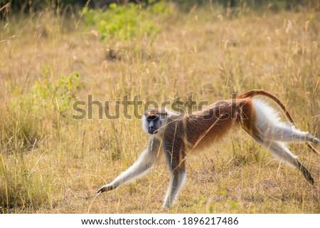 This wild ground dwelling Patas monkey (Erythrocebus patas), also called Wadi or Hussar monkey was running across the plain. Foto stock ©
