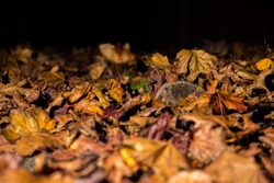 This wild hedgehog was wandering through autumn leaves to find food, however a natural cause of hedgehog deaths can be seen on this hedgehog and that being parasites, including ticks.