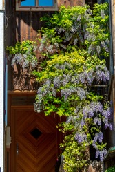 This wisteria looked beautiful in full grape cluster like blooms