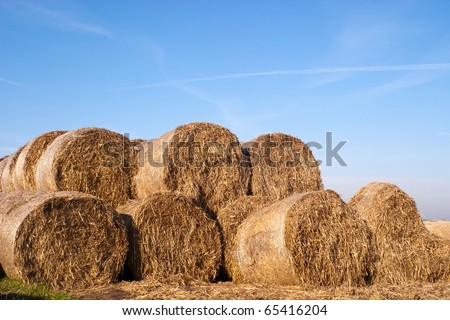 This year's bundle of straw yellow with golden color #65416204