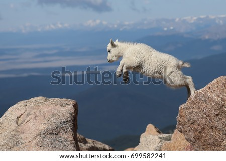 this young mountain goat...
