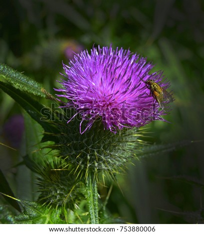 Thistle As One Of The Symbols Of Scotland Ez Canvas