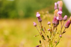 Thistle blossom in the meadow. Purple or pink flowers with white fluff on a branch. Warm blurred background
