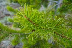 Thistle Branch Macro Closeup