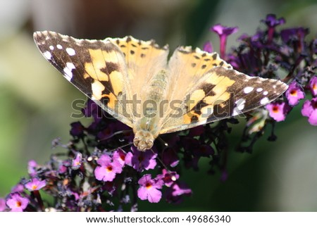 Thistle butterfly