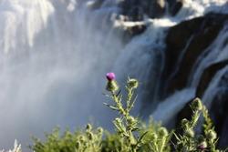 Thistle Flower at Shoshone Falls, Idaho