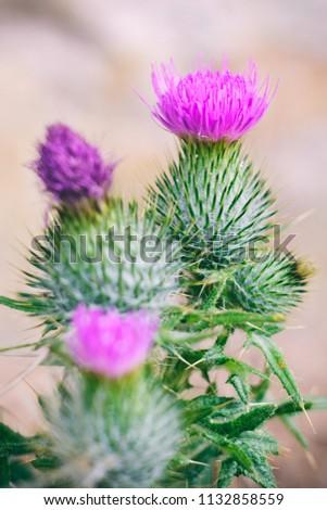 Free Photos Symbol Of Scotland Avopix