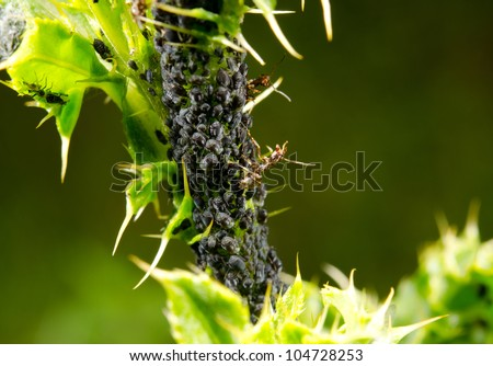 thistle with black aphids and ants
