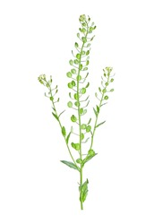 Thlaspi arvense, known by the common name field pennycress, is a flowering plant in the cabbage family Brassicaceae. High resolution composite photo.