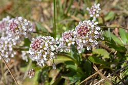 Thlaspi caerulescens, the Alpine Penny-cress or alpine pennygrass, is a flowering plant in the family Brassicaceae
