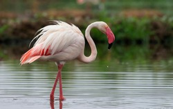 Thol Bird Sanctuary, Gujarat, India - June 27, 2018: Greater Flamingo portrait at Gujarat, India. These are state bird of Gujarat and found whole year at most of the water bodies.
