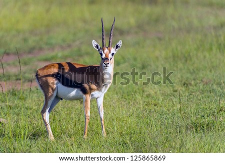 Thompson's Gazelle on the Masai Mara National Reserve, Kenya