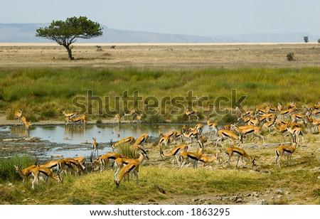Thompson's gazelles - stock photo