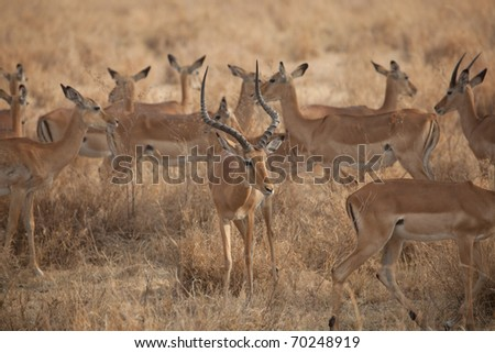Thompsons Gazelles in a group on the Serengeti Plain in Tanzania