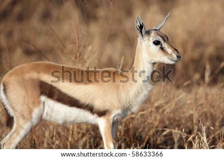 Thomson's gazelle female in soft morning light, Serengeti, Tanzania