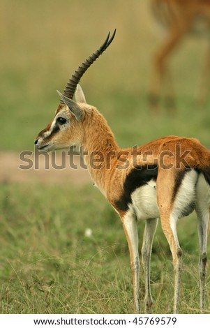 Thomsonâ??s gazelle (Gazella thomsonii), Masai Mara National Reserve, Kenya