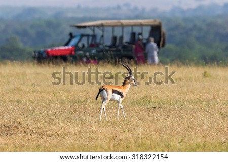Thomson\'s gazelle on the savannah with a safari car in the background