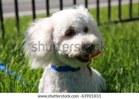 "Thor a ""Maltipoo"" (maltese-poodle) mix breed dog, smiles as he enjoys a nice warm day playing in the grass"