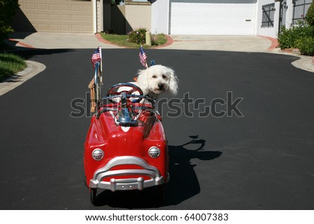 "Thor our new ""Maltipoo"" (maltese-poodle) mix breed dog, smiles as he enjoys  a ride in his firetruck pedal car"